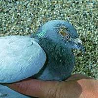 http://pigeonracingpigeons.files.wordpress.com/2009/11/pigeon-ornithosis.jpg