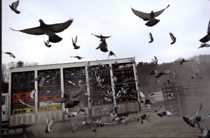 Racing Pigeon Liberation