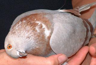 http://pigeonracingpigeons.files.wordpress.com/2009/11/pmv-pigeon-paramyxovirus.jpg