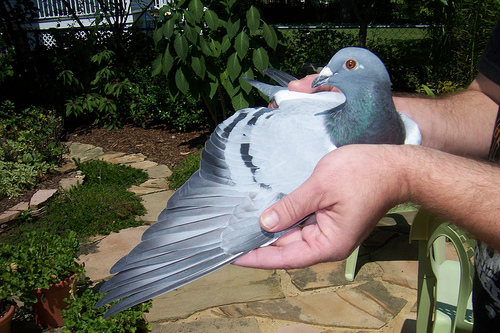 Good Feather, Handling For Quality | Winning Pigeon Racing and