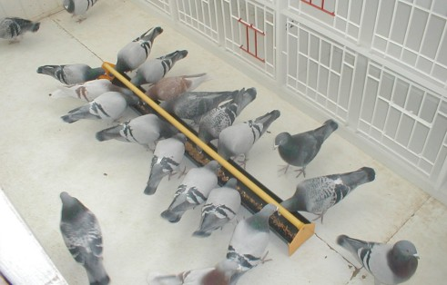 Pigeon Feeding - Feeding to Win