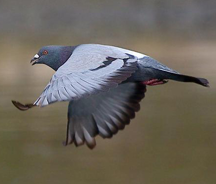 racing pigeon flying