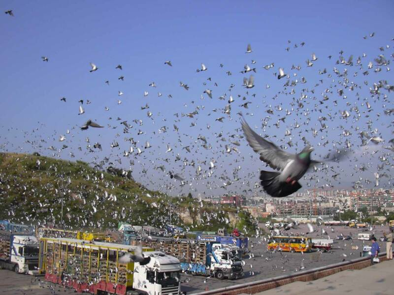 pigeon racing nutrition secrets exposed pdf