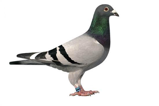 most-beautiful-pigeon-in-the-world