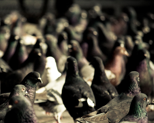 Pigeon Racing Secret #2: Quality Over Quantity