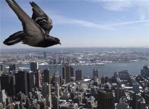 Can we measure energy in racing pigeons?