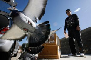 Road Training and Racing Pigeons - Feed and Medication Program for Young Birds in Training