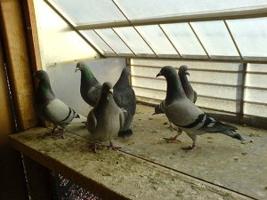 Feeding Pigeons During Weaning- Feed & Medication Program For Young Birds in Training