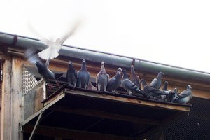 Settling and Loft Flying Pigeons - Feed & Medication Program For Young Birds In Training