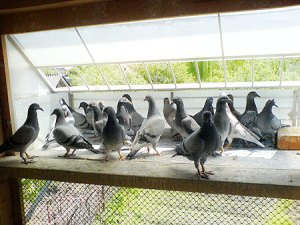 Pigeon Young Birds