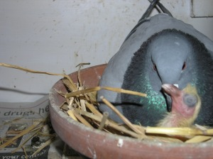 Pigeon Breeding - John Glemser's Breeding Tips