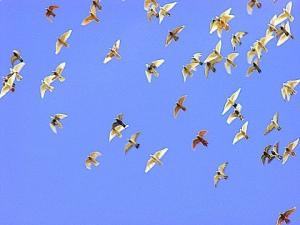 Culling racing pigeons