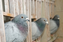 Pigeon Widowhood