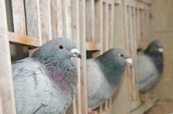 Pigeon Widowhood
