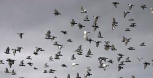 culling pigeons