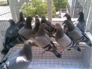 Pigeon Racing Natural System
